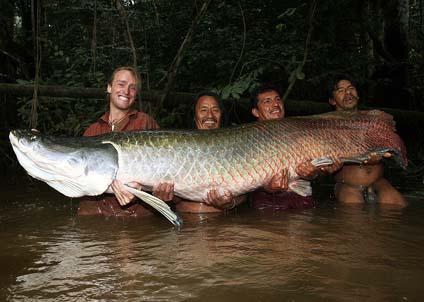 Det behövdes fyra man för att hålla den över tre meter långa fisken.