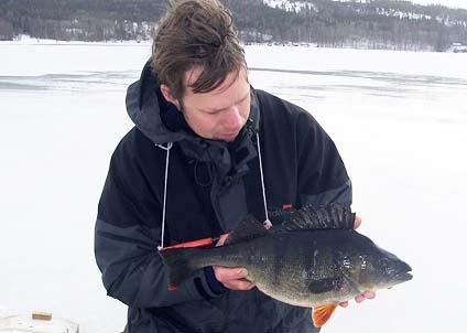 Johans hårdsatsning på pelagiska abborrar har gett resultat – bland annat i den här fisken på 2140 gram.