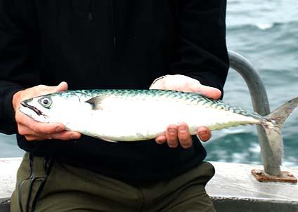 Snart är dom här – dom stridbara och vackra makrillarna som gör fisketuren till ett nöje.