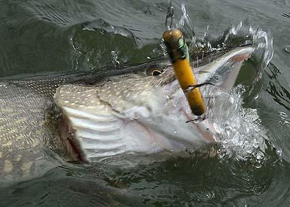 """Storgäddan klipper till så att vattnet stänker. """"Trumman"""" rapporterar om toppenfiske i Finland."""