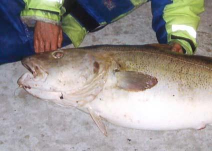 Fiskarna blir blekare av ämnet medetomidine som är avsett att användas i framtida båtfärger.