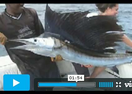 En segelfisk, bärgat utanför Kenya. De inhemska charterföretagen har kommit igång med fisket igen.