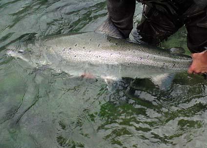 Hur många stora leklaxar vandrar upp? En fråga som ska besvaras vid den stora fiskräkningen i Torneälven.