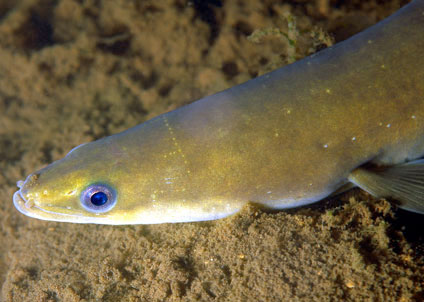 Ålen anses av flera miljöorganisationer som akut utrotningshotad. (Foto: Rudolf Svensen)