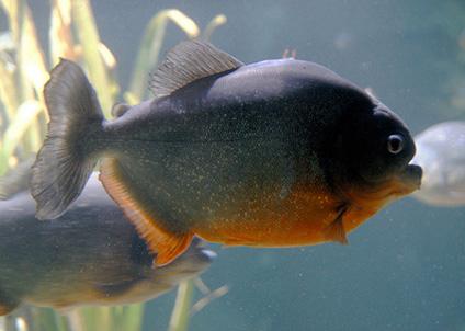 Den rödbukade pirayan är den mest aggressiva piraya-arten.