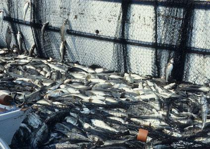 värna lokala torskbestånd