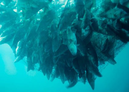 Torsken i Östersjön blir alltmer småvuxen (Foto: CC/DerekKeats BY2.0)