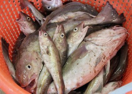 Fram till början av 2000-talet fiskades många bestånd alldeles för hårt som en följd av högt satta kvoter, vilket resulterade i minskande bestånd.