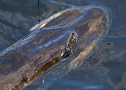 Gäddan har fått rött ljus i WWF:s Fiskguide, men är inte rödlistad. (Foto: Morgan Fihn)