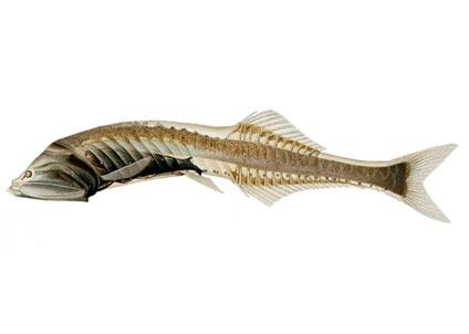 Den lilla anonyma fisken visar sig vara världens vanligaste ryggradsdjur. (Foto: Wikimedia Commons)