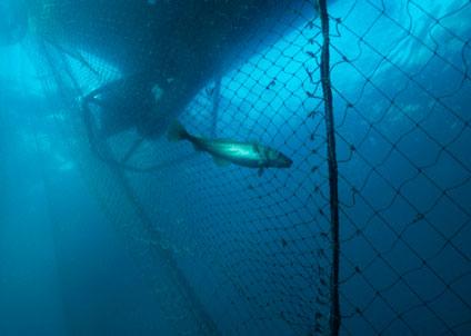 Oroväckande utveckling för torsken i Östersjön enligt Oceana. (Copyright Derek Keats/Creative Commons Attribution ShareAlike 3.0 License)