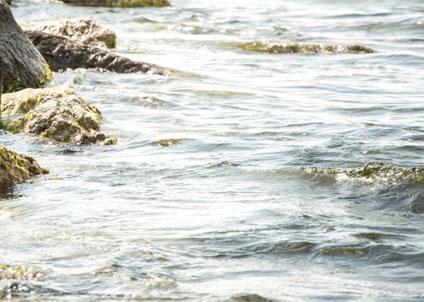 Enligt HaV kan den mängd torsklarver som förstörs i kärnkraftverkets turbiner motsvara mellan 3,8 och 9,2 ton vuxen torsk per år.
