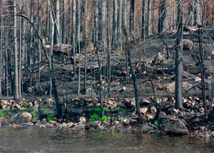 Svaren förväntas visa en stor variation i effekterna efter skogsbranden, eftersom brandens intensitet och andelen våtmarker skiljer sig stort mellan bäckarna.
