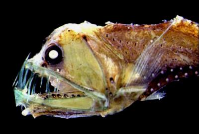 Huggormsfisk eller sabeltandsfisk påminner i formen om den vita fisken på filmen - men har stora ögon.