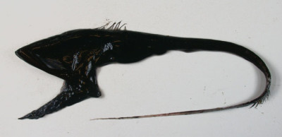 Pelikanål av släktet Eupharynx.