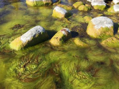 Trådalgerna förökar sig snabbt när det finns mycket näring och när det blir varmt i vattnet. Nu saknas dessutom många av de organismer som normalt betar ned dem.